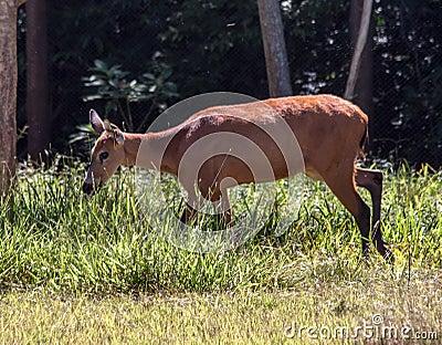 Deer Itaipu Zoo Foz Iguacu Brazil