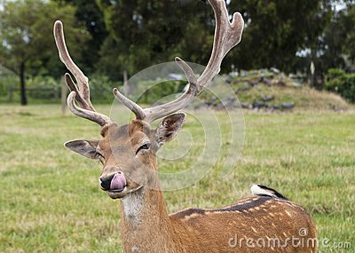 Deer licking its lips
