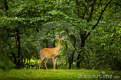 Deer on a lush green background