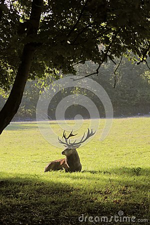 Deer lying in a forest clearing