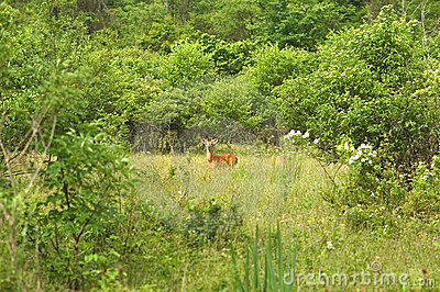 Deer in a Meadow