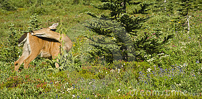 Deer in Meadow Grazing Eating Wildflower Blooms