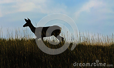 Deer in the meadow at sunset