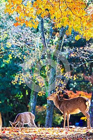 Free Deer Near Todaiji Temple In Nara, Japan Royalty Free Stock Photo - 44686855