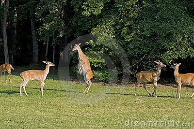 Deer playing in field