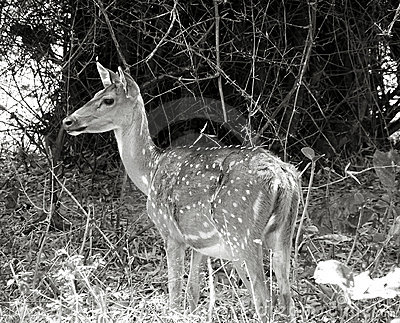 Deer portrait in b/w