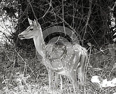 Deer portrait in b/w