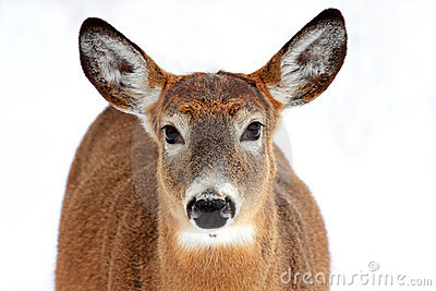 Deer portrait isolated