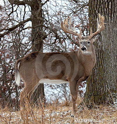 Deer Profile Royalty Free Stock Photo - Image: 22473365