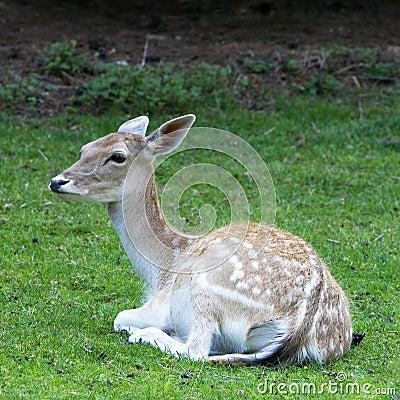 Deer resting in field