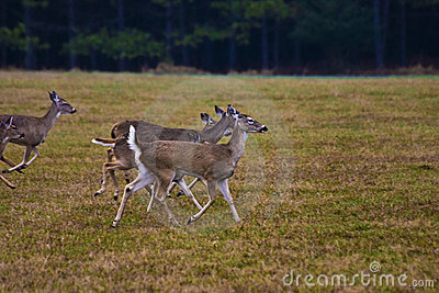 Deer Running in Meadow