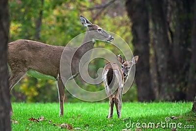 Deer s family