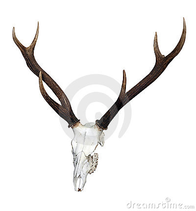 Deer Skull with 6 Point Antlers
