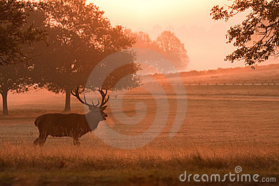 Deer stag with antlers, at sunrise