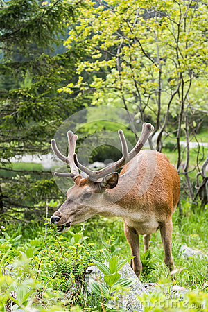 Free Deer Stag Eating Grass Royalty Free Stock Photos - 73035608