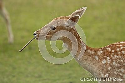Deer in wild