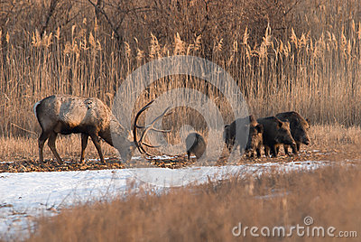 Deer and wild boar