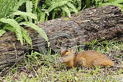 Deer of wildlife animal portrait in outdoor.