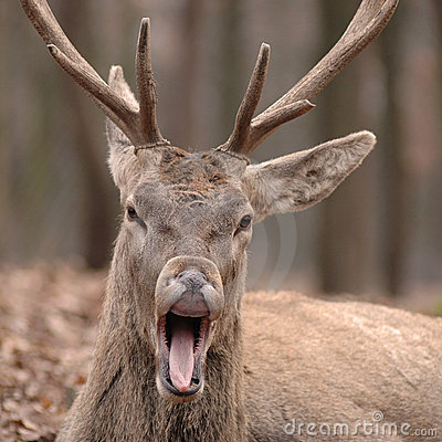 Free Deer With Open Mouth Royalty Free Stock Photography - 3346597