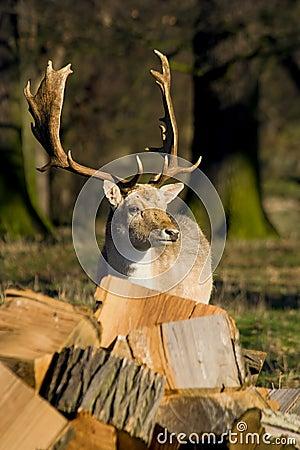 Deer in the Woodland