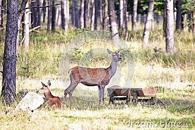 Deers eating