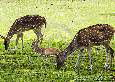 Deers on the grass