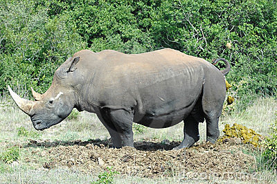 Defecating Rhinoceros