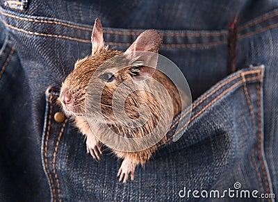 Degu in the pocket