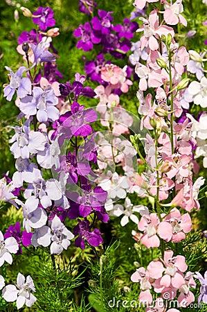 Delfinium flowers