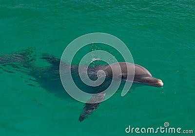 Delfino nell Oceano Atlantico