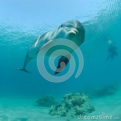 Delfín en el Mar Rojo