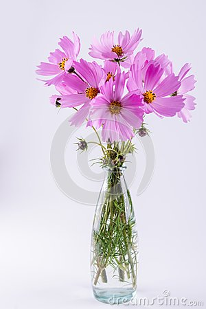 Free Delicate Cosmos Pink Flowers In Glass Vase On White Royalty Free Stock Photography - 108893997