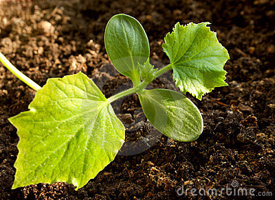 The delicate cucumber seedling
