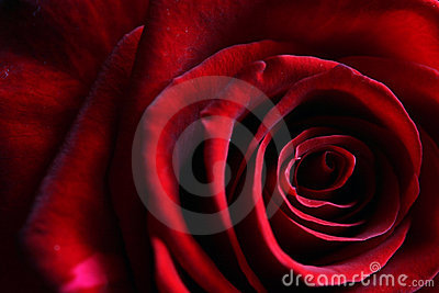Delicate petals of a deep dark red rose