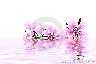 Delicate pink flower in water