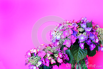 Delicate Pink Lacecap Hydrangea on Pink