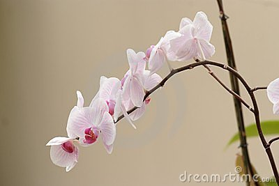 Delicate pink orchid flowers on the curved branch