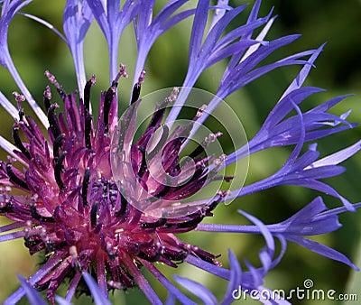 Delicate Purple Flower Closeup