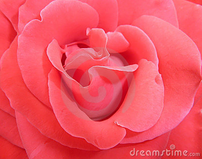 Delicate red rose