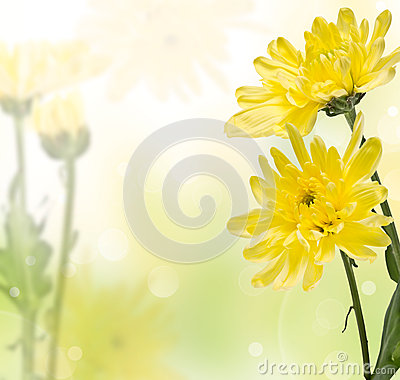 Delicate yellow chrysanthemums