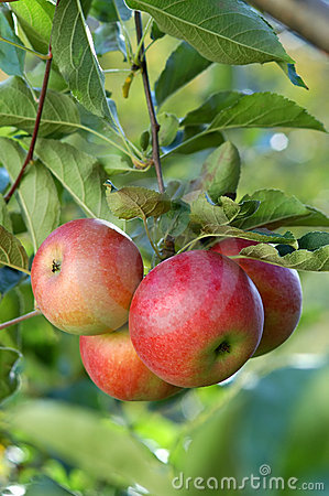 Free Delicious Apples Stock Photos - 1672963