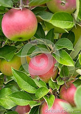 Delicous Apples