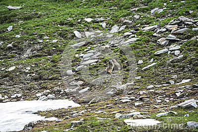 Dell Agnello di Colle: due marmotte