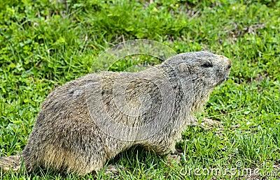 Dell Agnello di Colle: primo piano della marmotta