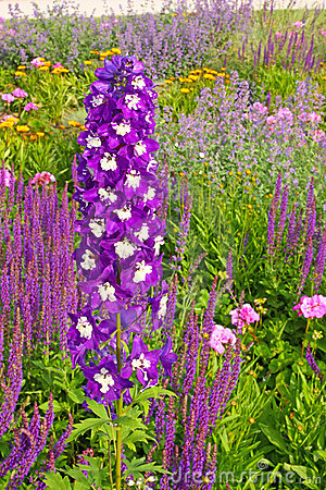 Free Delphinium Royalty Free Stock Photos - 19073888