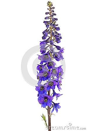 Free Delphinium Flower Stock Photos - 25649693