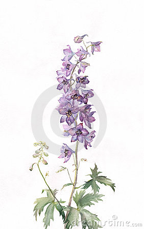 Free Delphinium Watercolor Painting Royalty Free Stock Photos - 10652708