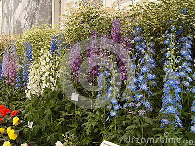 Delphiniums At Chelsea Flower Show