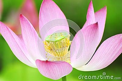 αγνότητα λωτού λουλου&delt