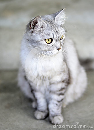 Demeanor of Persia Cat